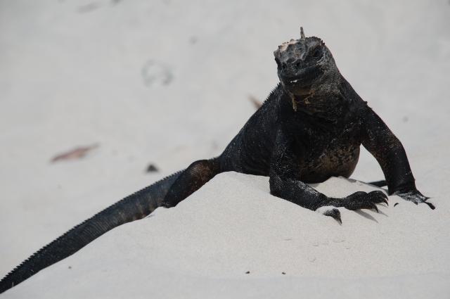 The iguana grifter