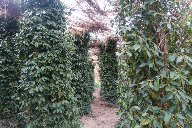 pepper trees