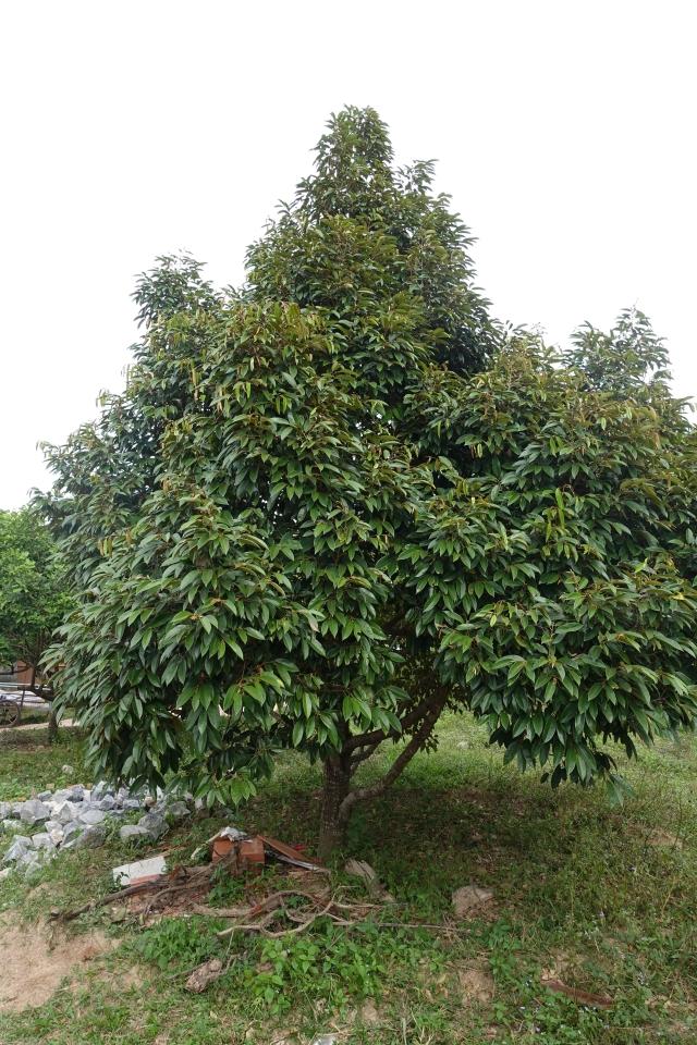 durian tree (paula)