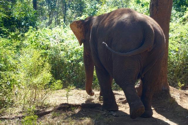 elephant booty