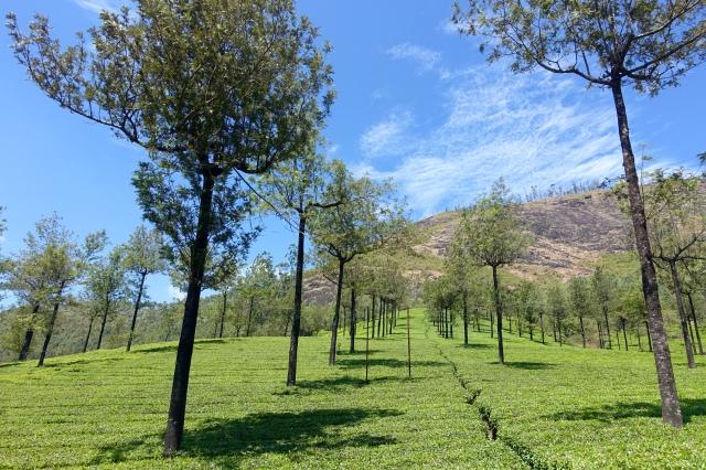tea and eucalyptus trees
