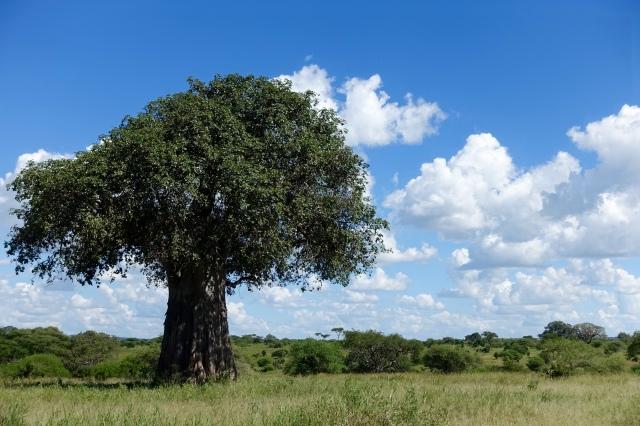 baobab tree!