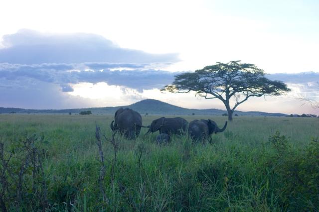 elephants @ dusk