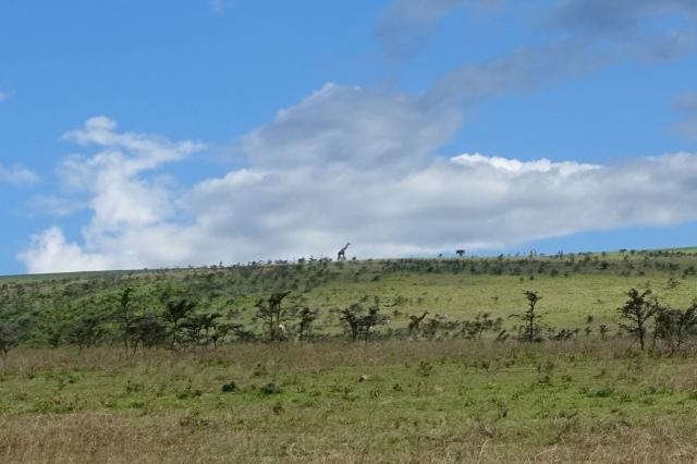 giraffes on crater rim