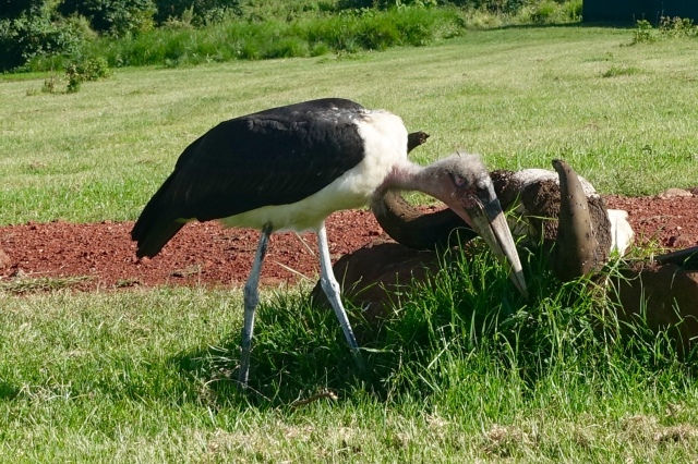 marabou stork = avian version of old british man