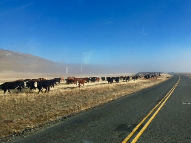 patagonia cows - the same as other cows, only colder